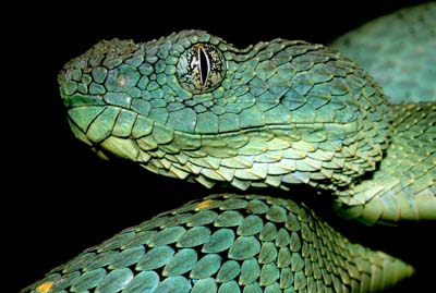 Atheris chlorechis